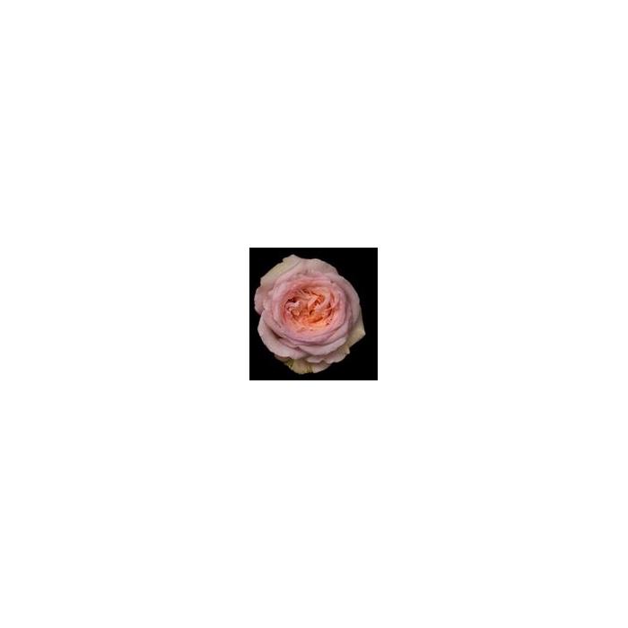 <h4>Rosa Gr. DFR109</h4>