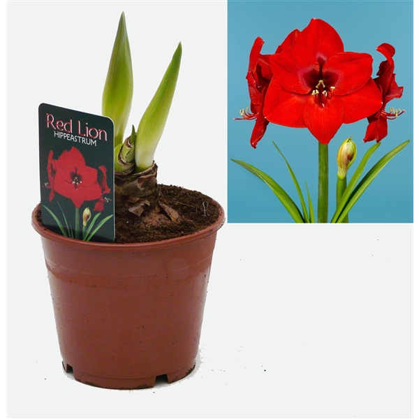 <h4>Hippeastrum  Red Lion</h4>