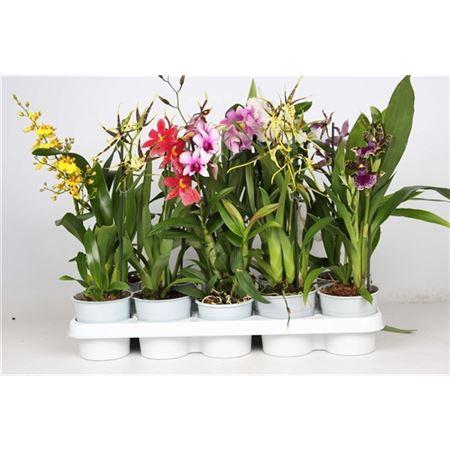 <h4>Orchideeën Gemengd 1 Tak</h4>