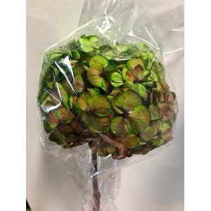 Hydrangea / Hortensia d15cm groen/rood