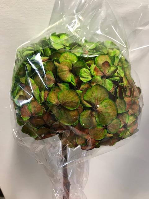 <h4>Hydrangea / Hortensia d15cm groen/rood</h4>