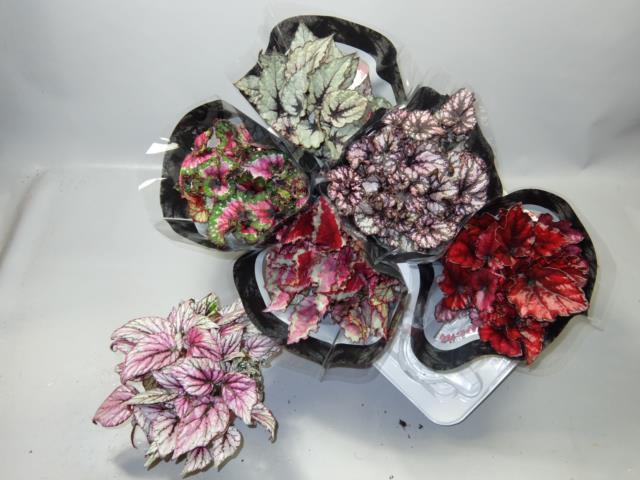 <h4>Begonia Magic Color mix</h4>