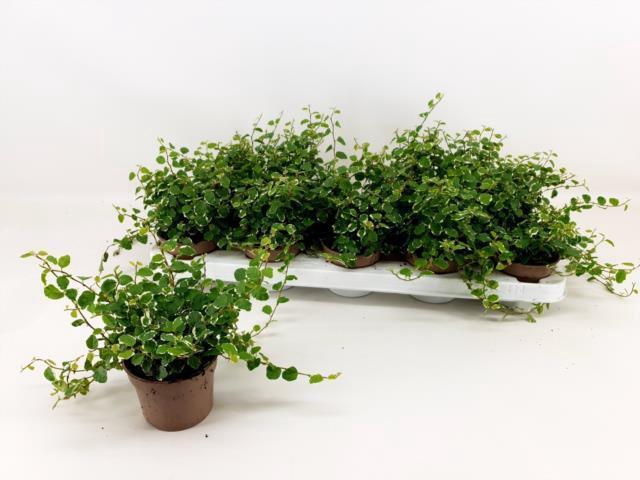 <h4>Ficus Pumila Green Sunny 9Ø 20cm</h4>