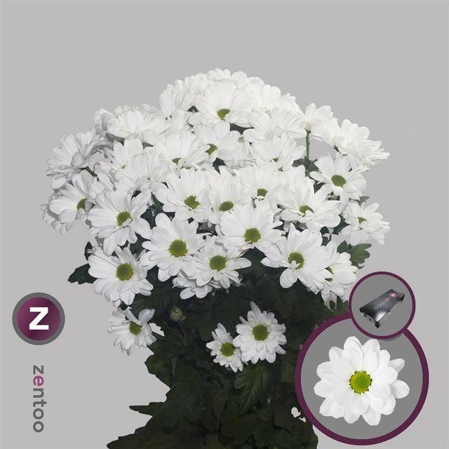 <h4>Chrysanthemum TR 'Kennedy'</h4>