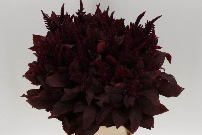 <h4>Amaranthus Cr Velvet</h4>