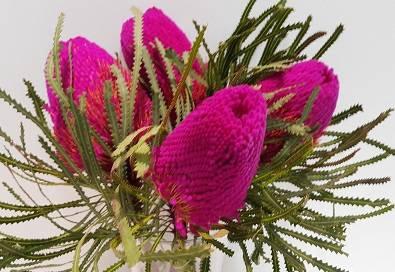 Banksia Natural Speciosa