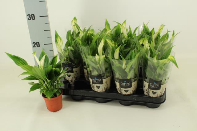 <h4>Spathiphyllum Pearl Cupido 7Ø 24cm 3+ kwiatów</h4>
