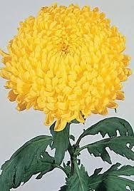 <h4>Chrysanthemum monoflor snowdon amarillo</h4>