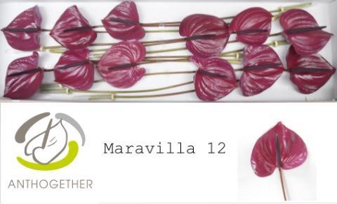 <h4>Anthurium (Andreanum Grp) Maravilla</h4>