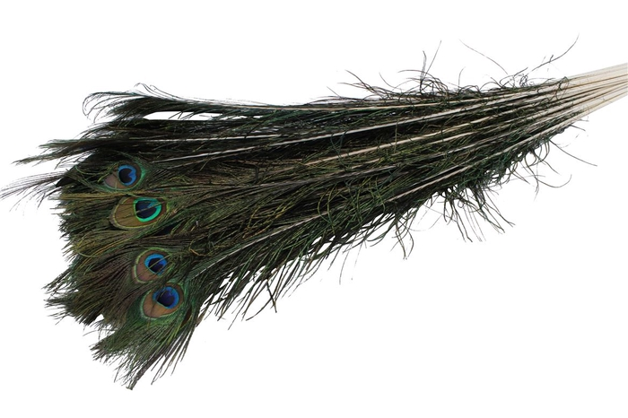 <h4>Feather Peacock ( Pauwenveren )</h4>