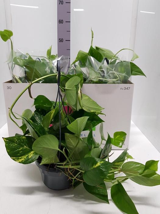 <h4>Epipremnum pinnatum hanging 15Ø 40cm</h4>
