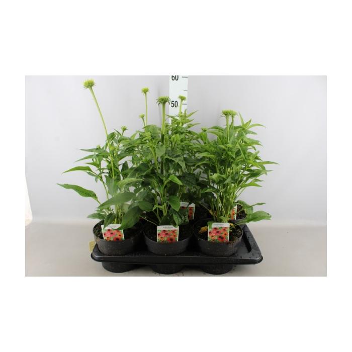 <h4>Echinacea purp.</h4>