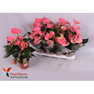 Anthurium Sweet Dream 14Ø 45cm 6Flow