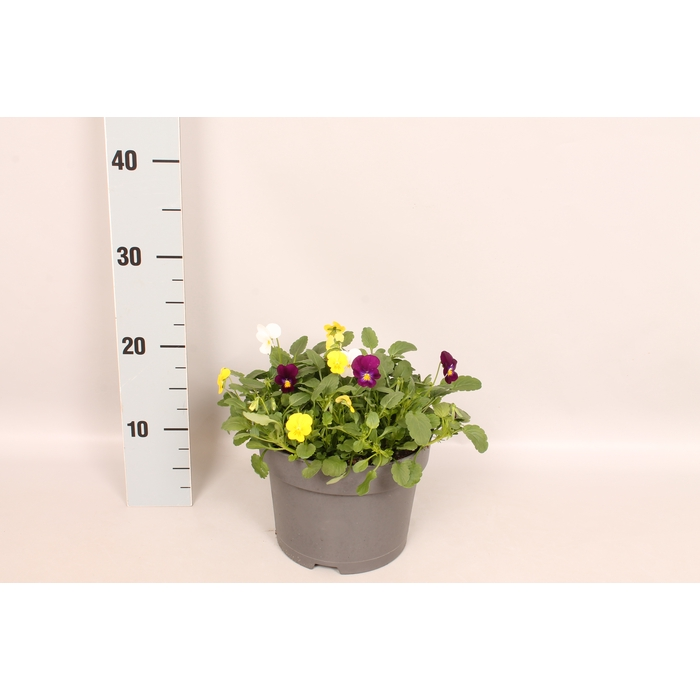 <h4>Viola cornuta 19 cm mix Yellow, violet, white</h4>