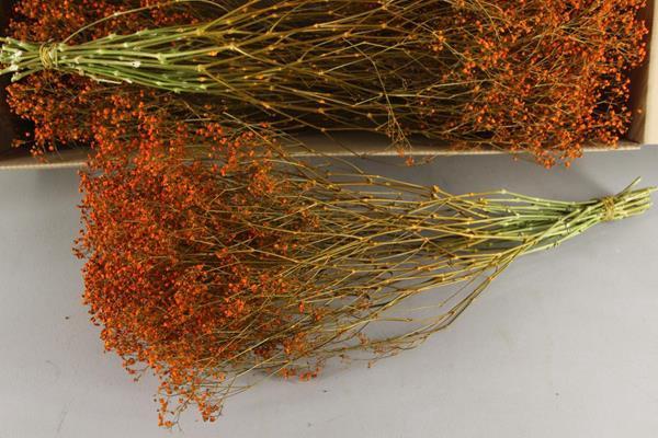 <h4>Df Gyps Bs (5) 70cm Orange</h4>