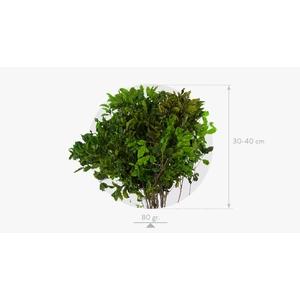 Pittosporum Green