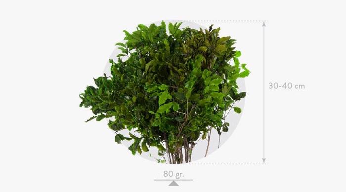 <h4>Pittosporum Green</h4>
