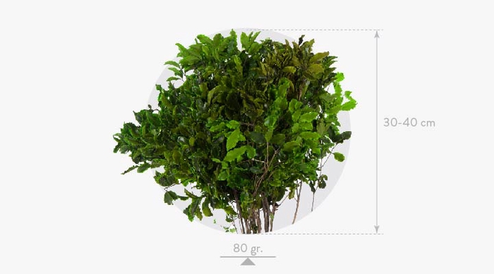 <h4>Pittosporum Green</h4>