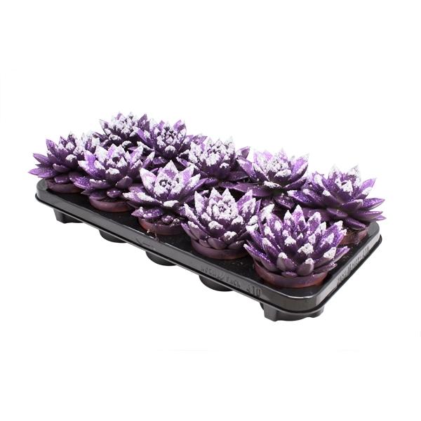 <h4>Echeveria coloured tripple dark purple</h4>