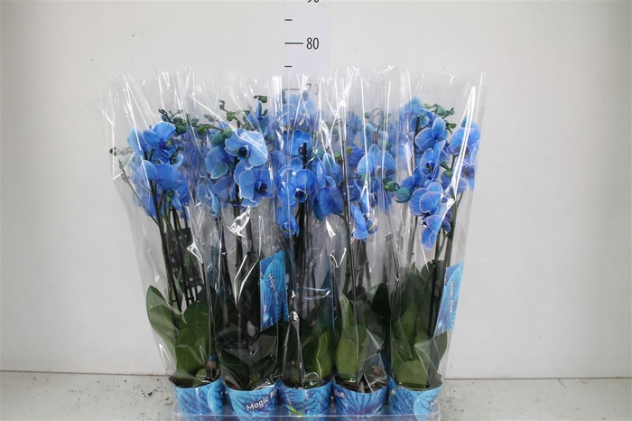 <h4>Phal Royal Blue 2 Tak</h4>