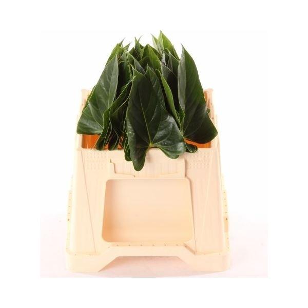 <h4>Anthurium andr. 'Excit Love' ..blad</h4>