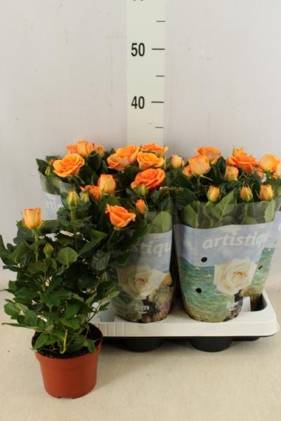 <h4>Rosa  'Peach Beau Monde'</h4>