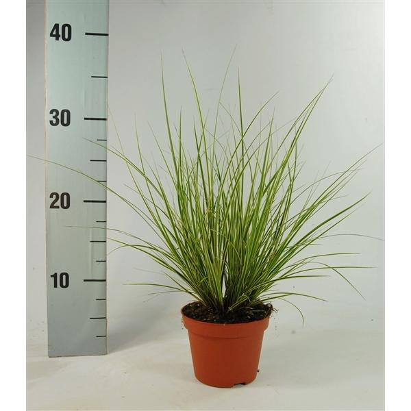 <h4>Carex brunnea 'Jubilo' p10,5</h4>