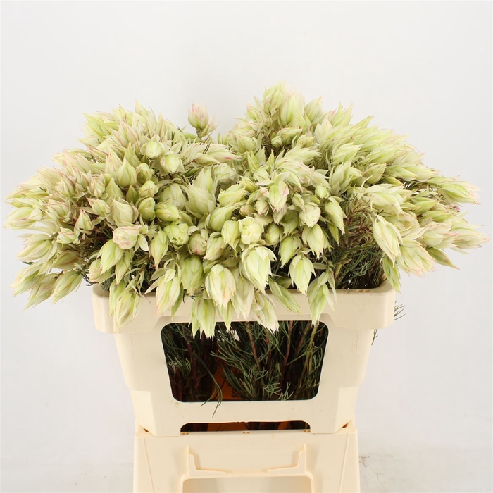 <h4>Serruria Blushing Brides White 4-6 Flwrs</h4>