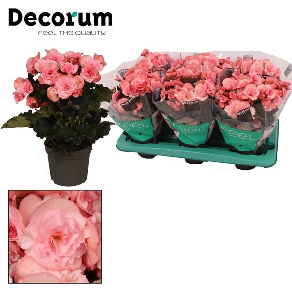 <h4>Begonia ''joy pink''  licht rose 13cm</h4>