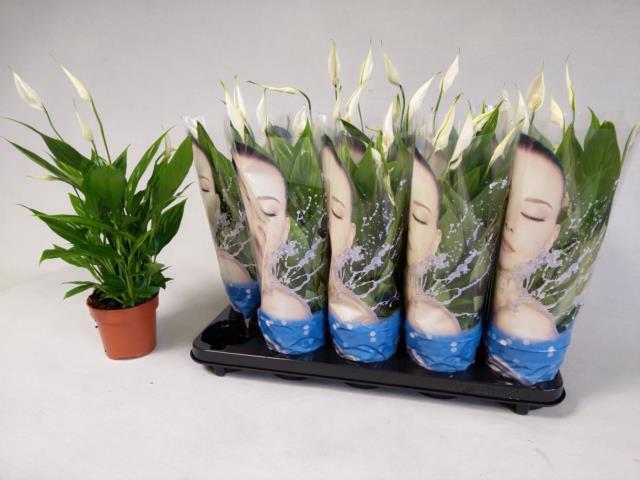 <h4>Spathiphyllum Alana 12Ø 45cm 3+ kwiatów</h4>