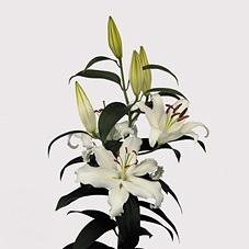 <h4>Lilium Oriental Helvetia PRIMERA</h4>