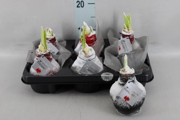 <h4>Hippeastrum   ...flowerbulbs</h4>