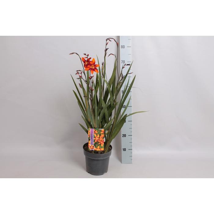 <h4>vaste planten 19 cm  Crocosmia Meteore</h4>