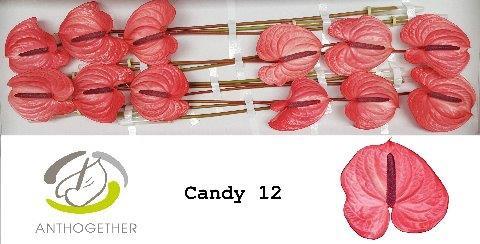 <h4>Anthurium (Andreanum Grp) Candy</h4>