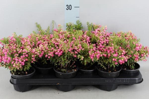 <h4>Gaultheria mucronata</h4>
