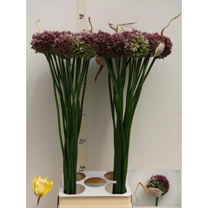 <h4>Allium Purple Mystery</h4>