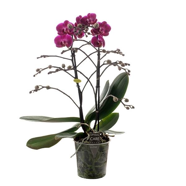 <h4>Phalaenopsis 2T morelia</h4>