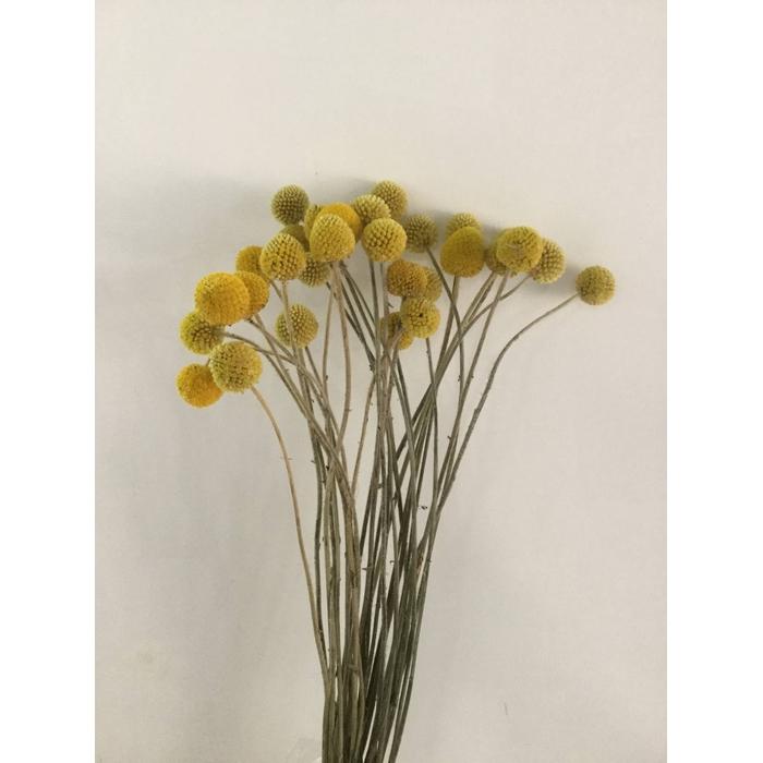 <h4>DRIED FLOWERS - CRASPEDIA NATURAL YELLOW 25PCS</h4>