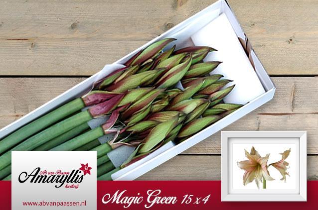 <h4>Amaryllis Magic Green</h4>