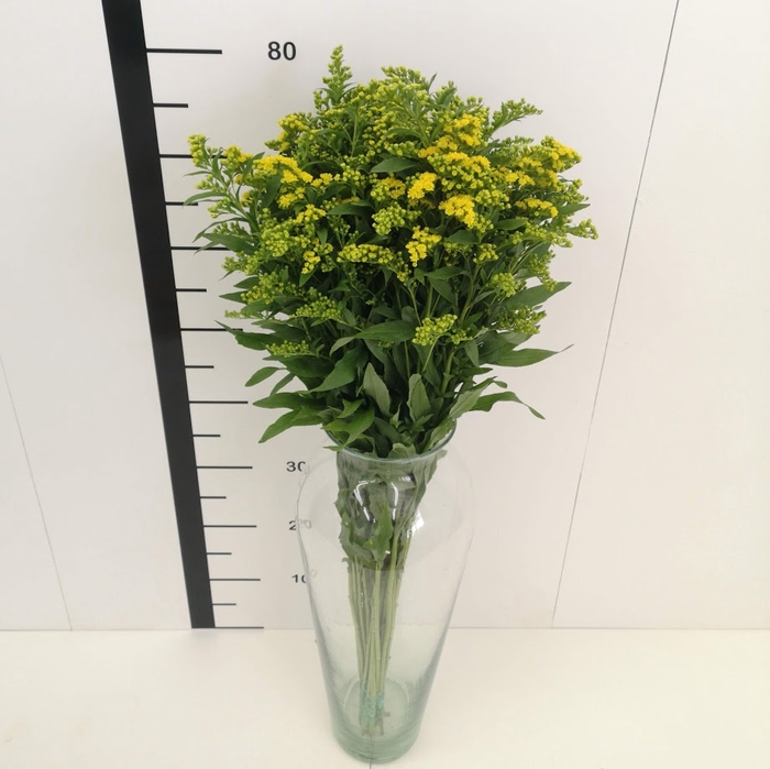 <h4>Solidago Golden Glory</h4>