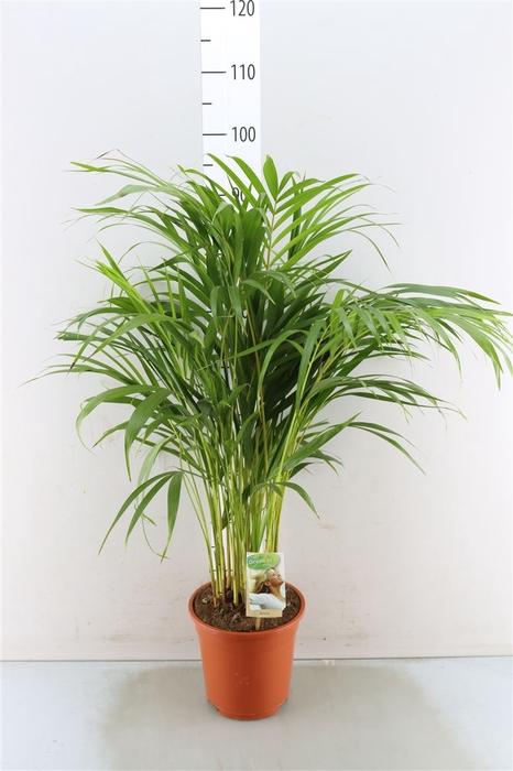 <h4>Chrysalidocarpus Lut</h4>