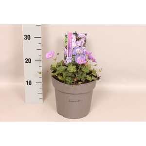 vaste planten 19 cm  Geranium Bloom Me Away