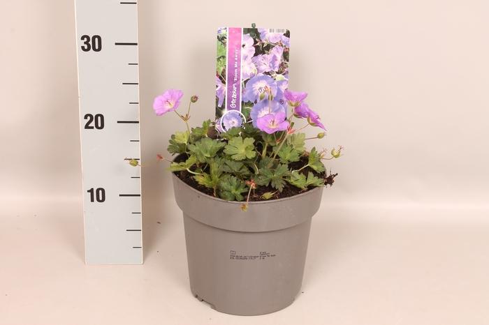 <h4>vaste planten 19 cm  Geranium Bloom Me Away</h4>