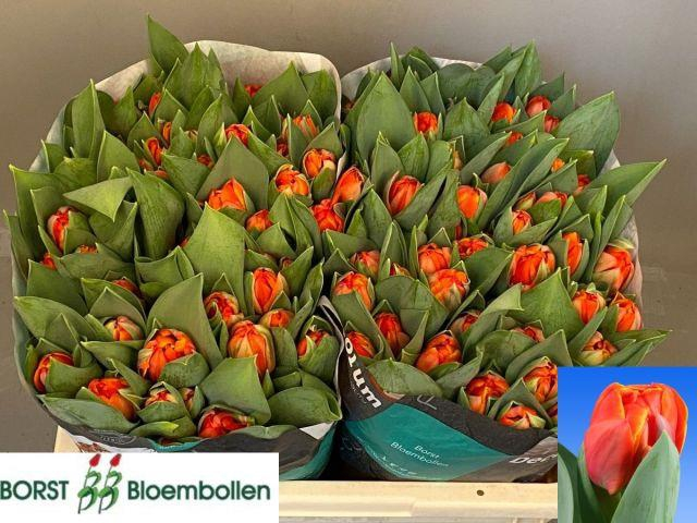 <h4>TU DU QUEENSDAY</h4>