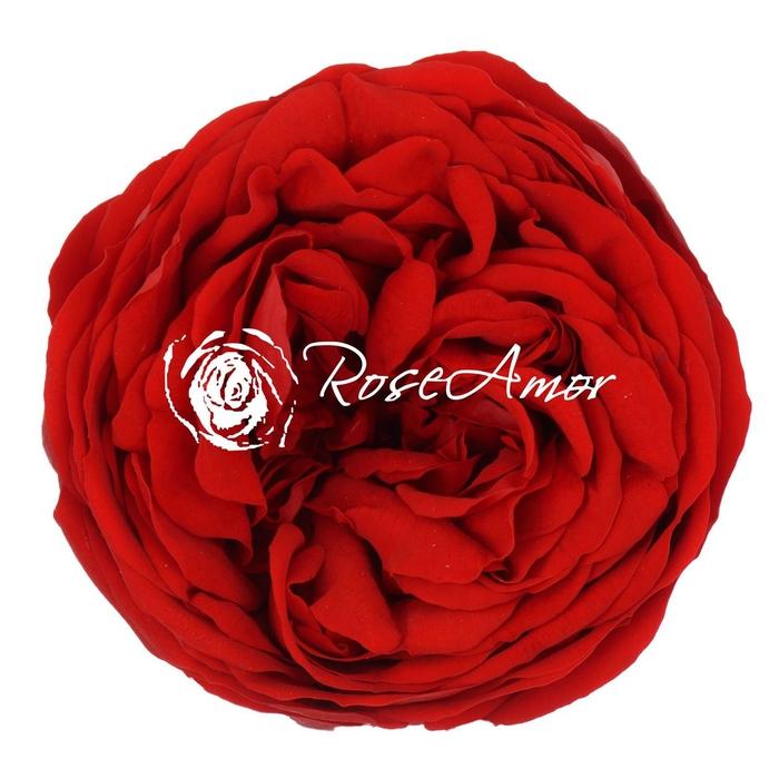 <h4>PRESERVED ROSA KABUKIZA RED 02</h4>
