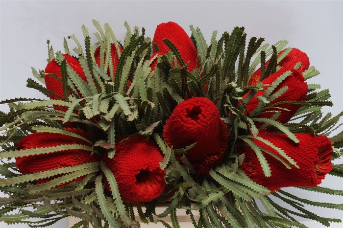 <h4>Banksia Hookeriana Red</h4>