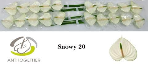 <h4>ANTH A SNOWY 20.</h4>