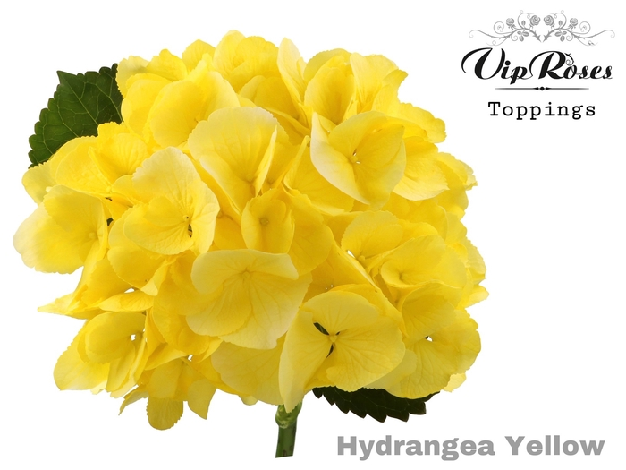 HYDR M SUNNY YELLOW 70 cm