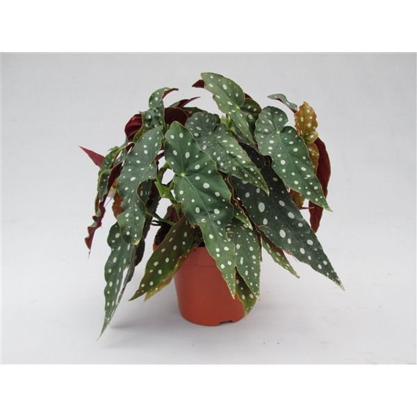 <h4>Begonia Maculata pot 17</h4>