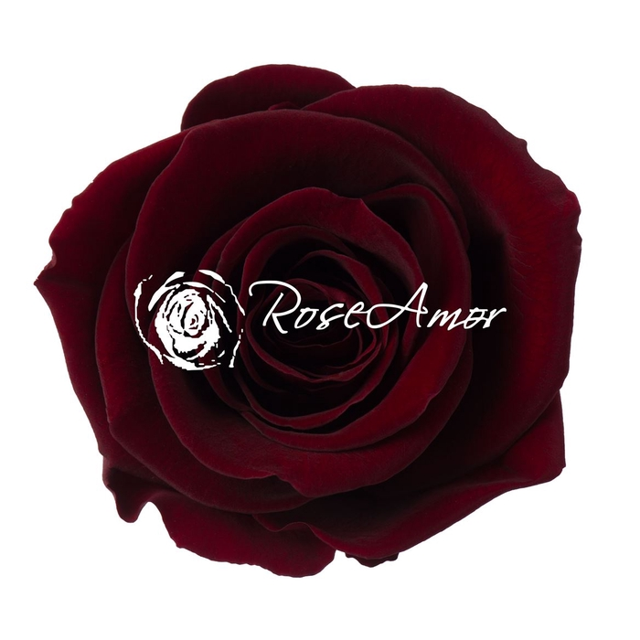 <h4>PRESERVED ROSA LL PIN 02</h4>